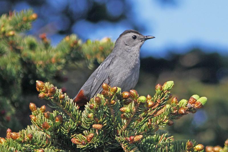 Gray catbird, Brier Island, 20 May 2012