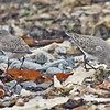 White-rumped sandpiper, two at Hartlen Pt, 24 Sep 2012