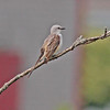 Scissor-tailed flycatcher near Liverpool, Spring of 2010