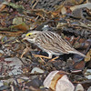 Ipswich race of savannah sparrow