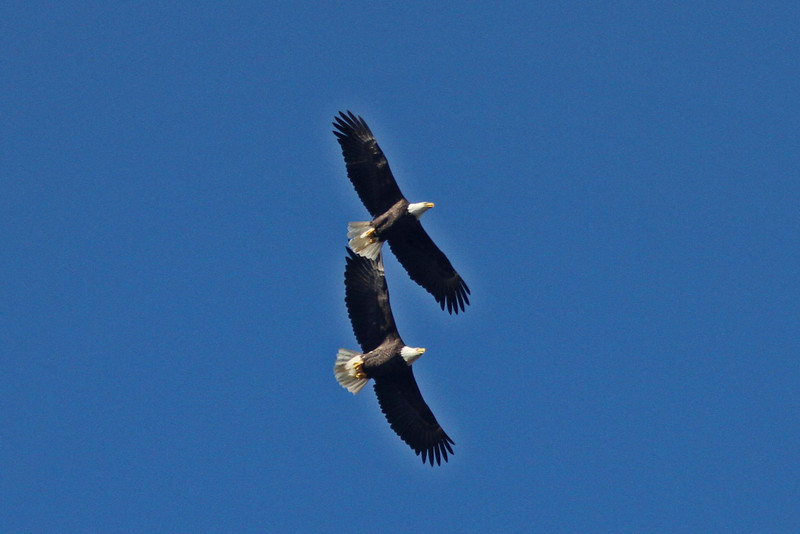 Two bald eagles in flight over Duncan's Cove