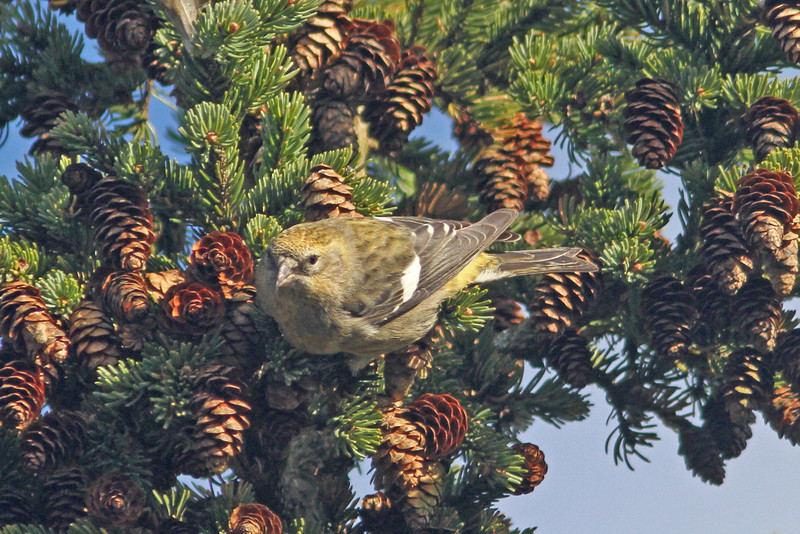 female white-winged crossbill, Brier Island 23 Oct 2012