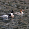 Pair of red-breasted mergansers in Squid Cove