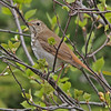 Hermit thrush, May 2010