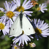 Cabbage white butterfly, Brier Island, 26 Sep 2016