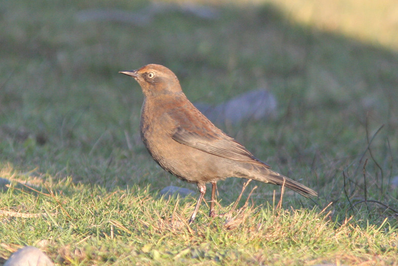 Rusty blackbird, Seal Island, Sep 2008