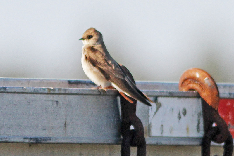 Northern rough-winged swallow, Brier Island 2012
