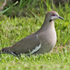White-winged dove, Brier Island, May 2010