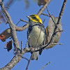 Black-throated green warbler, Brier Island, 15 Sep 2012