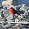 Summer tanager at Hartlen Pt