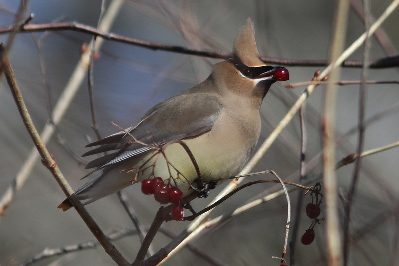 Cedar waxwing at White Point, Feb 2012