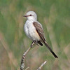 Scissor-tailed flycatcher near Liverpool in May of 2010
