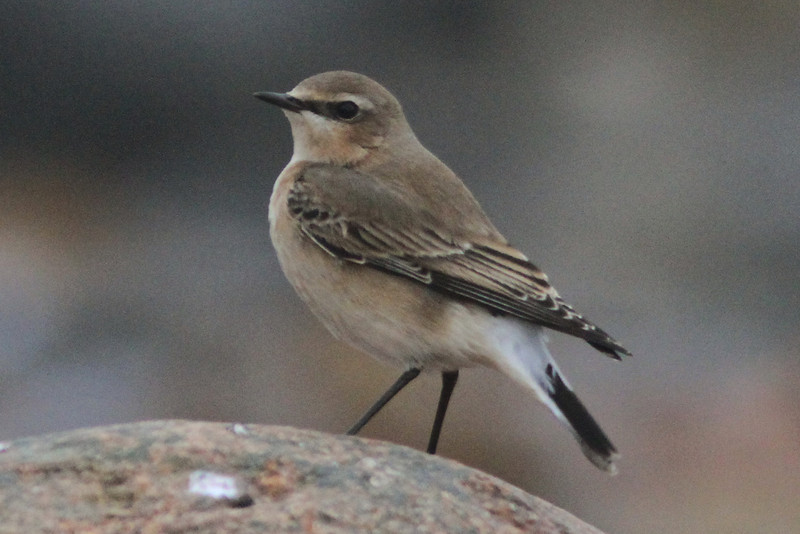 Northern wheatear seen at Hell Point, Lunenburg County Nova Scotia on 2 Nov 2013<br /> Reported by Kevin Lantz and also seen by Eric Mills, James Hirtle and Dave Walmark