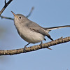 Blue-gray gnatcatcher, Chebucto Head road, 4 Oct 2012