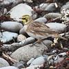 Horned lark, Pond Cove Brier Island, 27 Sep 2016