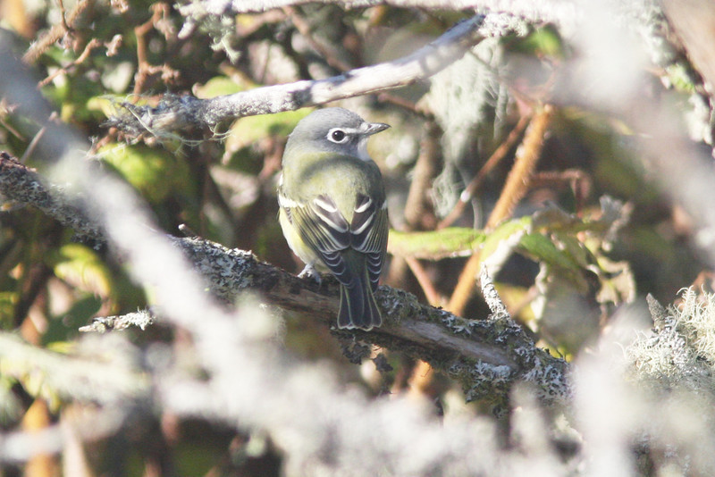 Blue-headed vireo, Seal Island, Sep 2008