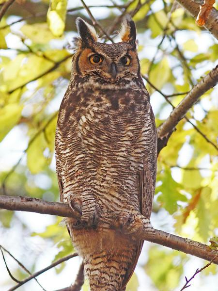 Great-horned owl, Beaufort Ave in Halifax, Nov 2012