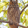 Great-horned owl, Beaufort Ave in Halifax, Nov 2012