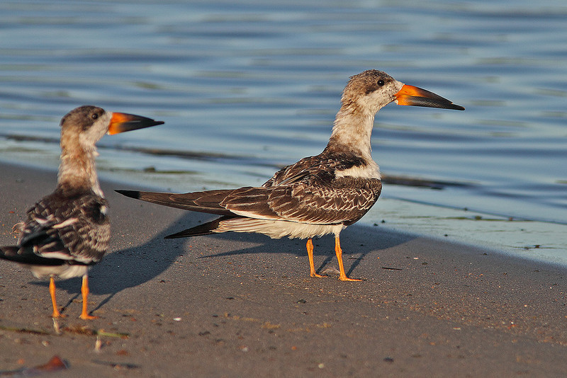 """Two juvenile black skimmers McCormack's Beach, Eastern Passage, """"Earl"""" fallout"""