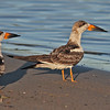 "Two juvenile black skimmers McCormack's Beach, Eastern Passage, ""Earl"" fallout"