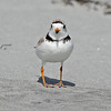 Piping plover head on, 2010 at Cherry Hill Beach