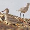 Hudsonian godwit and black-bellied plover