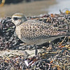 American golden plover, Brier Island, 18 Sep 2012, bird appears to have injured leg