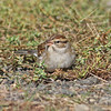 chipping sparrow Brier Island 23 Oct 2012