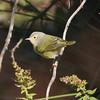 Nashville warbler, Seal Island, Sep 2008