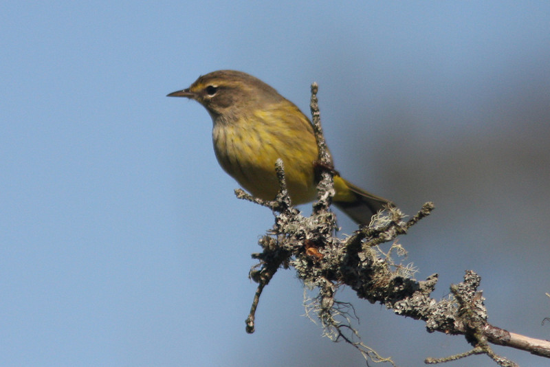 Palm warbler, Seal Island, Sep 2008