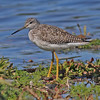 Greater yellowlegs in Pond Cove pond, Brier Island, 17 Sep 2012