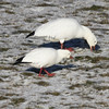 Ross's goose and snow goose at Hartlen Pt, 7 Jan 2013