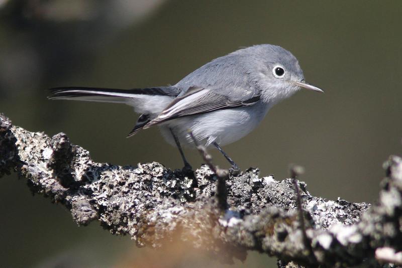 Blue-gray gnatcatcher, Seal Island, Sep 2008
