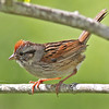 Swamp sparrow, adult