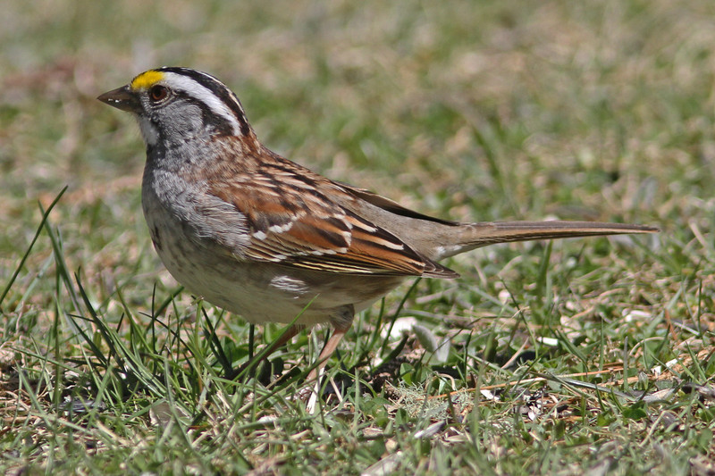 White-throated sparrow, 29 April 2013