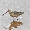 Marbled Godwit, Wolfville NS, 19 Sep 2012, bill colour modified by mud