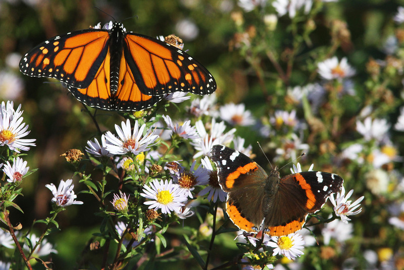 Monarch butterfly and red admiral butterfly, Brier Island, Sep 2012