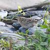 Grasshopper sparrow, Point Pleasant Park, 26 Oct 2016