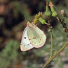 Unidentified sulphur butterfly