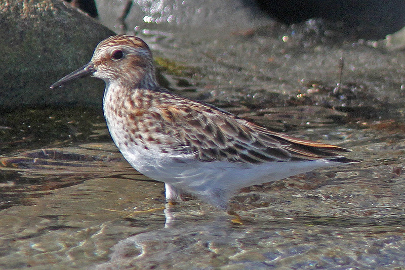 Least sandpiper, in Spring near Liverpool, 2010
