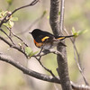 male American redstart (warbler)