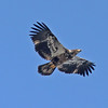Immature bald eagle in flight at White Point in Feb 2012