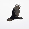 Turkey vulture in flight over Pond Cove, Brier Island, 27 Sep 2016