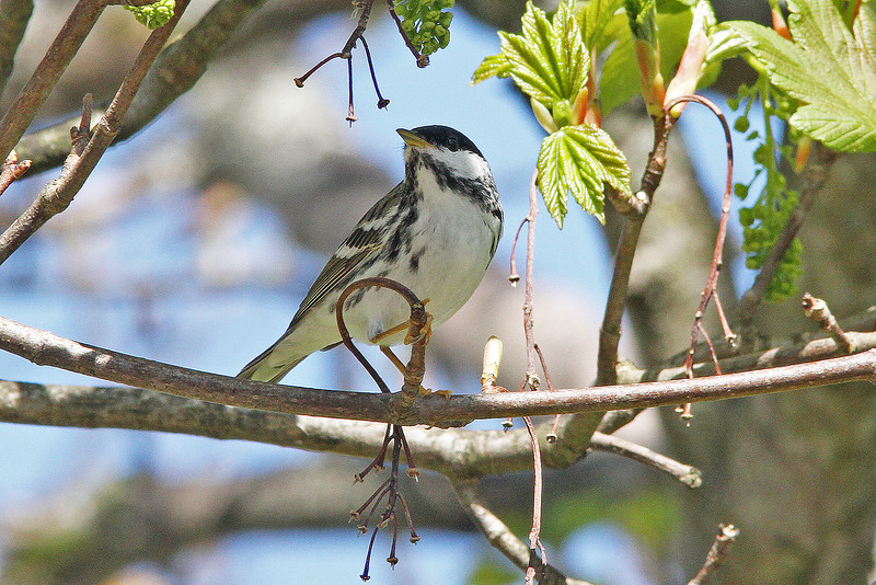 Blackpoll warbler, Brier Island, May 2010