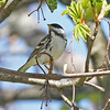 Blackpoll warbler, Brier Island, May 2010