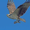 Osprey in flight with catch