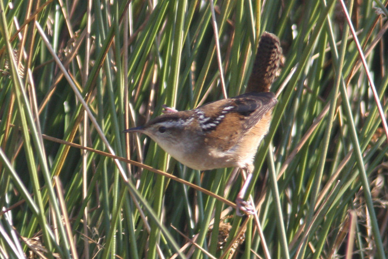 Marsh wren, Seal Island Sep 2008