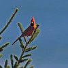 northern cardinal, Brier Island, October 2012