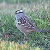 White-crowned sparrow, adult, Seal Island, 2008