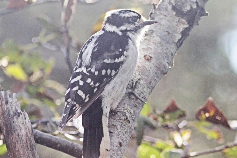 Downy woodpecker, backlit, Brier Island, 17 Sep 2012